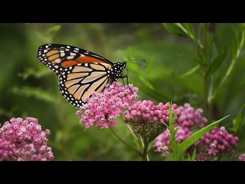 Milkweed For Monarchs