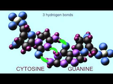 HYDROGEN BONDS BETWEEN NUCLEOTIDES