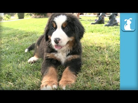 70 Seconds of Floppy Bernese Mountain Dog Puppies - Puppy Love