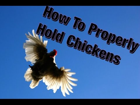 How To Properly Hold Chickens
