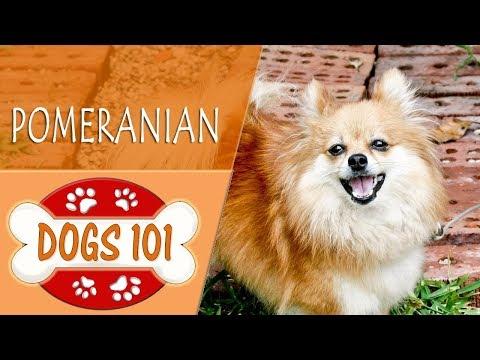Dogs 101 - POMERANIAN - Top Dog Facts About the POMERANIAN