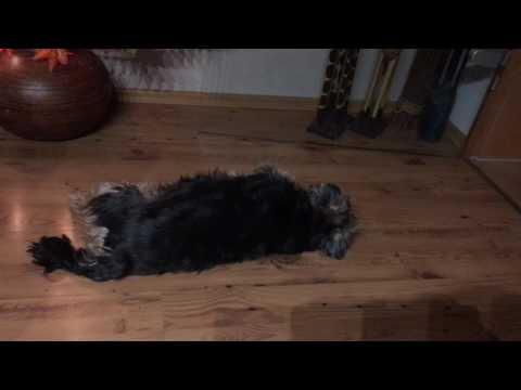 DOG HAS BAD DREAM SLEEPING DOG HAVING NIGHTMARES