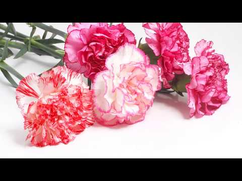 Facts about Carnation Plants