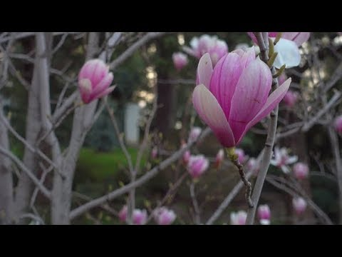 Pink Magnolia in Morning Japanese Garden | Stock Footage