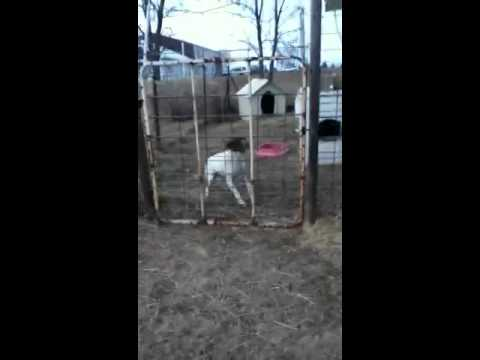 Dog jumps a gate