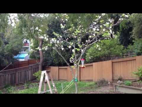 How to Get a Better Yield | More Fruit out of your Pear Tree - Pollinate the tree by hand