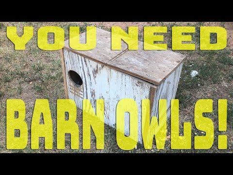 You Need A Barn Owl!