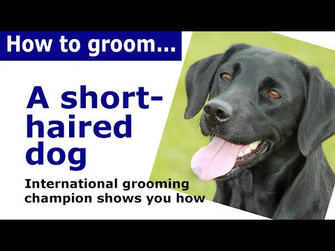How to groom a short haired dog - dog grooming demonstration