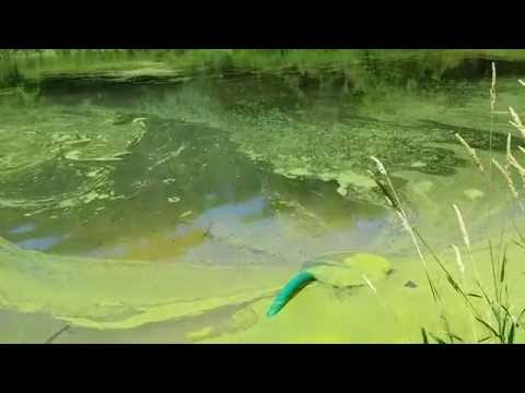 Removing duckweed from a pond