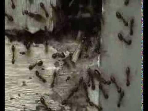 Carpenter Ant Infestation in Australia