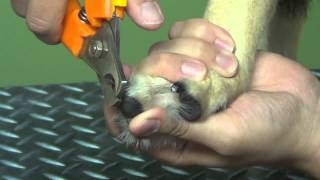 Trimming Your Dogs Nails Dark Clear Nails Do It Yourself Dog Grooming