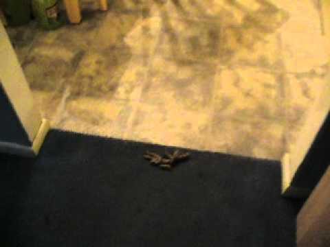 Cat goes poop on the carpet