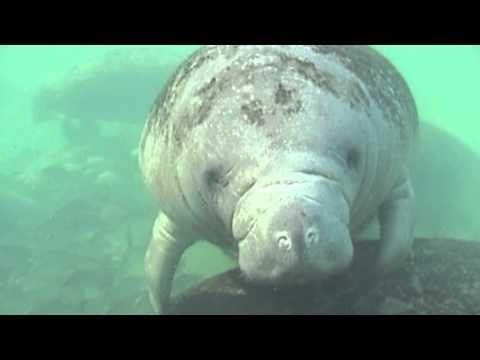 Snorkel with Manatees -Homosassa Springs Wildlife State Park, Florida