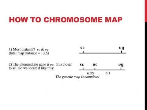 Linked genes and chromosome mapping