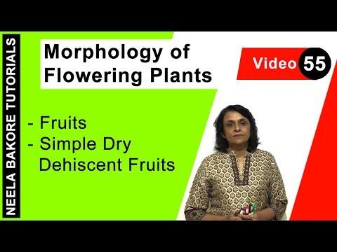 Morphology of Flowering Plants - Fruits - Simple Dry Dehiscent Fruits