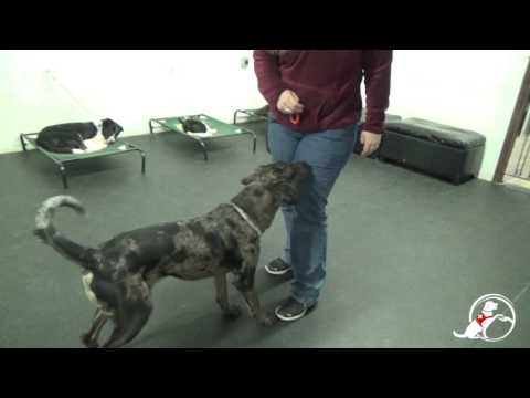 Training a Diabetes Alert Dog