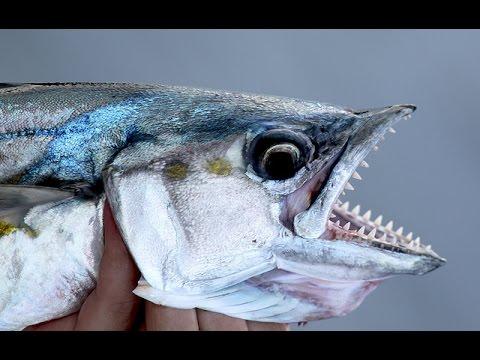 Spanish Mackerel Fishing - Rigs, Jigs & Techniques
