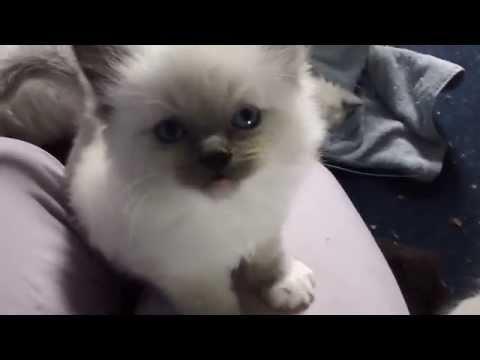 Cute Ragdoll kitten meowing