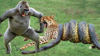 Python Swallowing Leopard Cubs While Mother Leopard Hunting Baby Gorilla, Power of Mother Animals