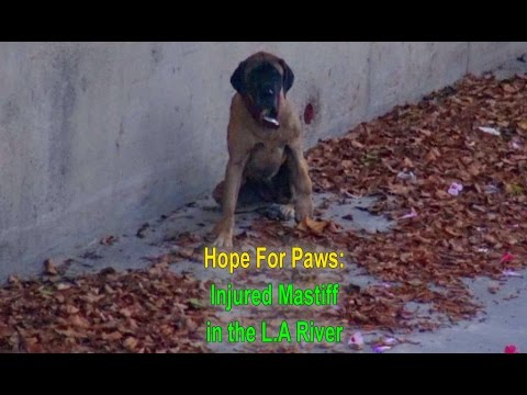 Hope For Paws and the L.A. Fire Department saving an injured Mastiff from the L.A River
