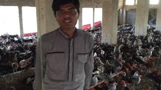 Golden misri hen farming in Punjab | Desi murgi ka karobar