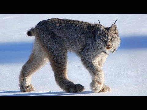 CANADIAN LYNX -  Amazing Animal Species