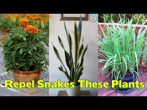 Worried Of snakes   These Plants Will Repel Snakes From Your Garden