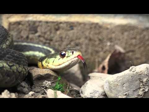Organic Natural Pest Control the amazing Garter Snake