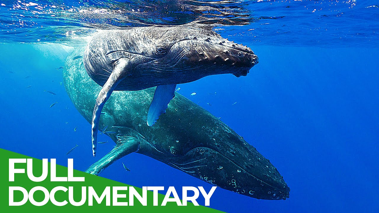 In the Feeding Grounds of the Humpback Whales | Free Documentary Nature