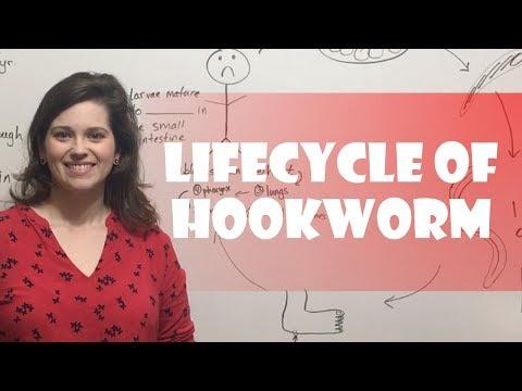 Lifecycle of Hookworm