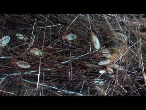 Horse chewing/biting louse - Damalinia (Bovicola) equi