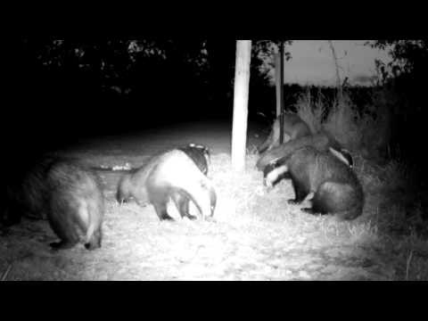Badger Gets Hiccups ! - with sound