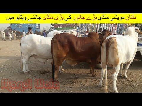 Download 72 | Cow mandi 2018/2019 Multan | Video in Urdu
