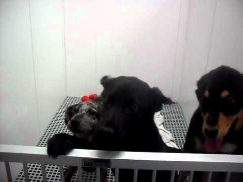 Meet Jade a Retriever, Labrador currently available for adoption at Petango.com! 2/16/2011 4:18:04 P