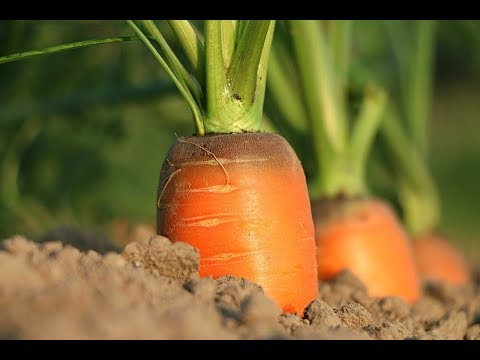 How To Plant Carrots In The Polybags So That The Harvest Is Optimal For Beginners