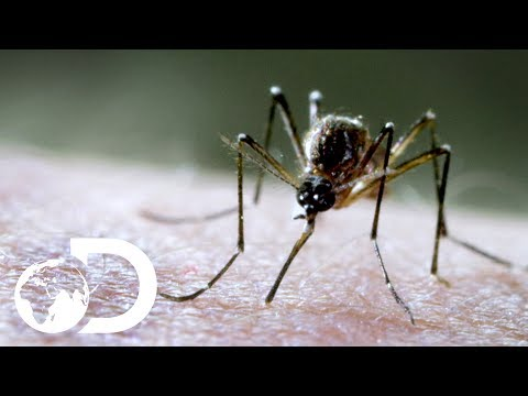 Discovery Presents Mosquito