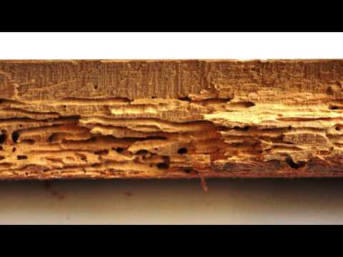 What is Woodworm? Problems and Woodworm Treatment by Protum Services Ireland - Protum.ie