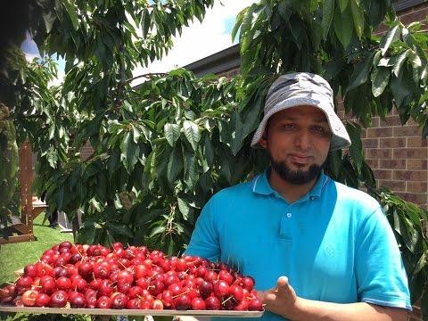 How to plant Dwarf Sweet Cherry Tree?