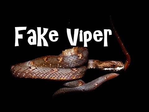 Herping VENOMOUS VIPER OR NOT ?!?