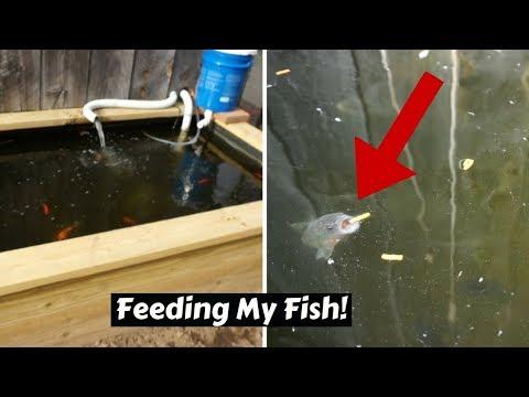 Homemade Fish Pond FEEDING FRENZY!! ~ First time feeding my fish in 2018
