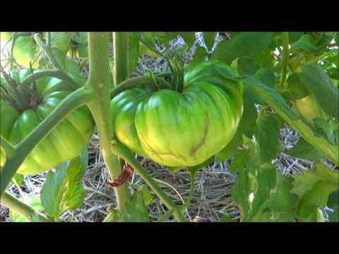 Full garden update including Thunder Mountain Longhorn peppers