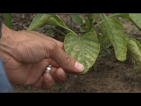 Nutrient-Deficient (Yellowing Leaves) Pepper Fix - This Week In the Garden