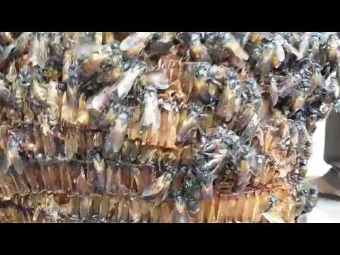 How to make  honey by bee flies....