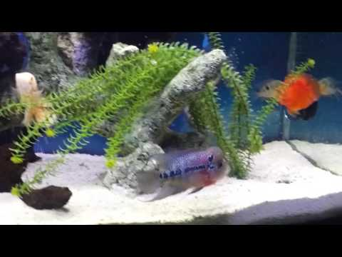 How to keep a flowerhorn with other fish