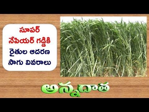 High Yeilds with Super Napier Grass in Telangana || ETV Annadata