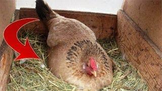 رجل فقير قام برفع هذه الدجاجة ولكن ما اكتشفه تحتها مفاجأة لم يصدقها أحد