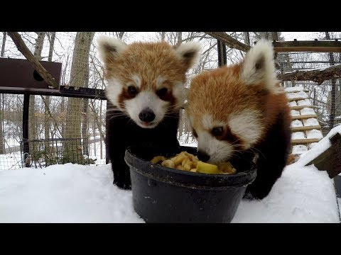 New Year, New Life - Red Pandas at the Cleveland Metroparks Zoo