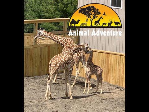 Xxx Mp4 April Amp Sons Giraffe Cam Animal Adventure Park 3gp Sex