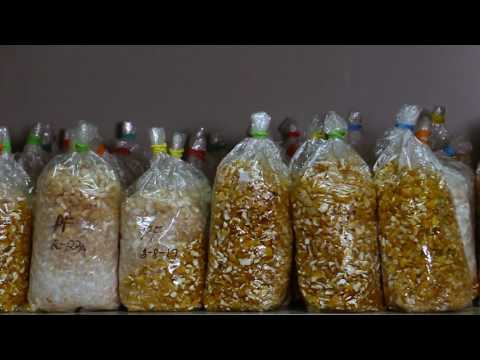 3 Paggawa ng Binhi mula sa Mushroom Tissue, ng Culture Media at ng Subculture