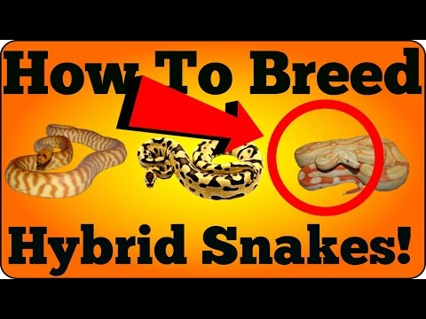 HOW TO BREED HYBRID SNAKES! STEP BY STEP. SerpentSityExotics
